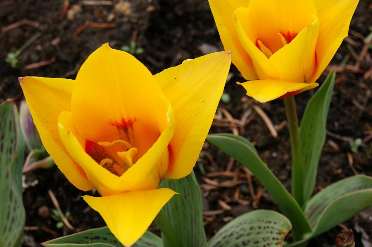 botanický tulipán