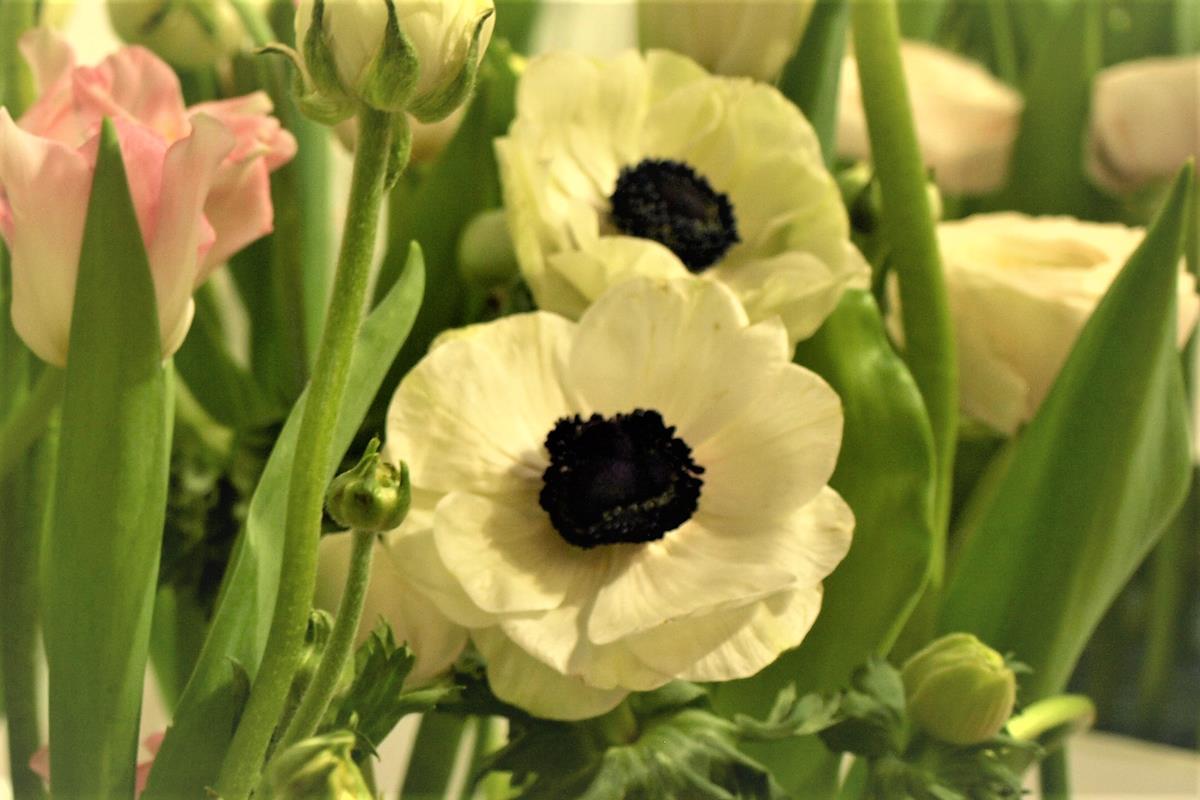 anemones anemones
