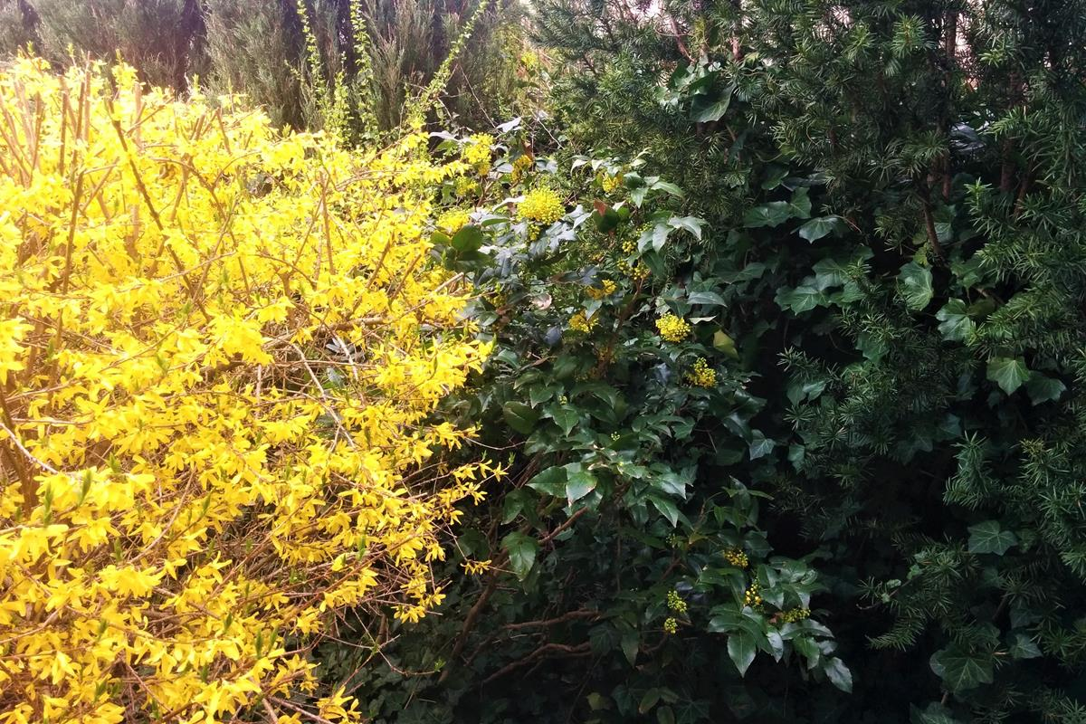 Mahonia and Forsythia