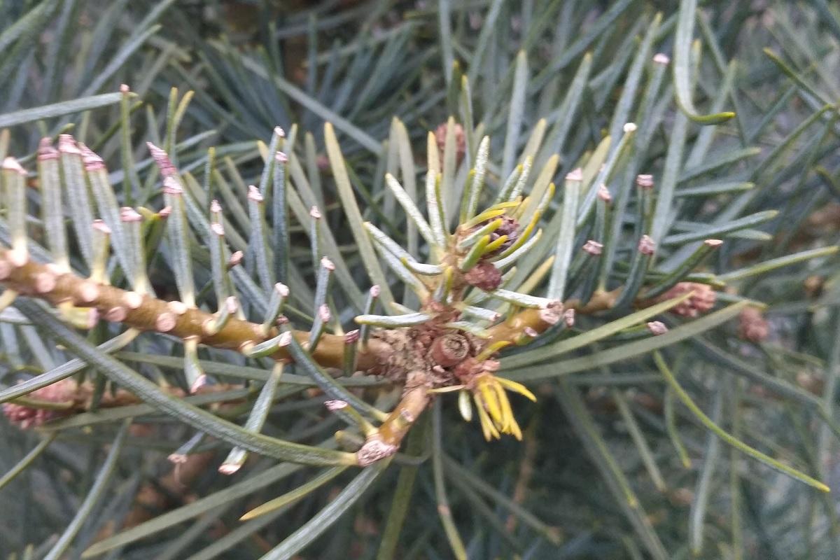 orezané bočné výhonky jedľa z Kalifornie