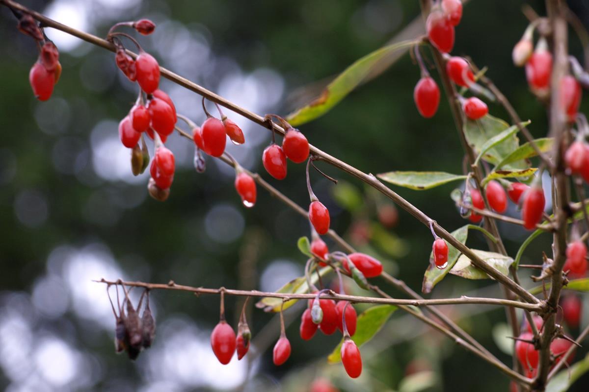 Owoce Goji W Twoim Ogrodzie Allegro Pl
