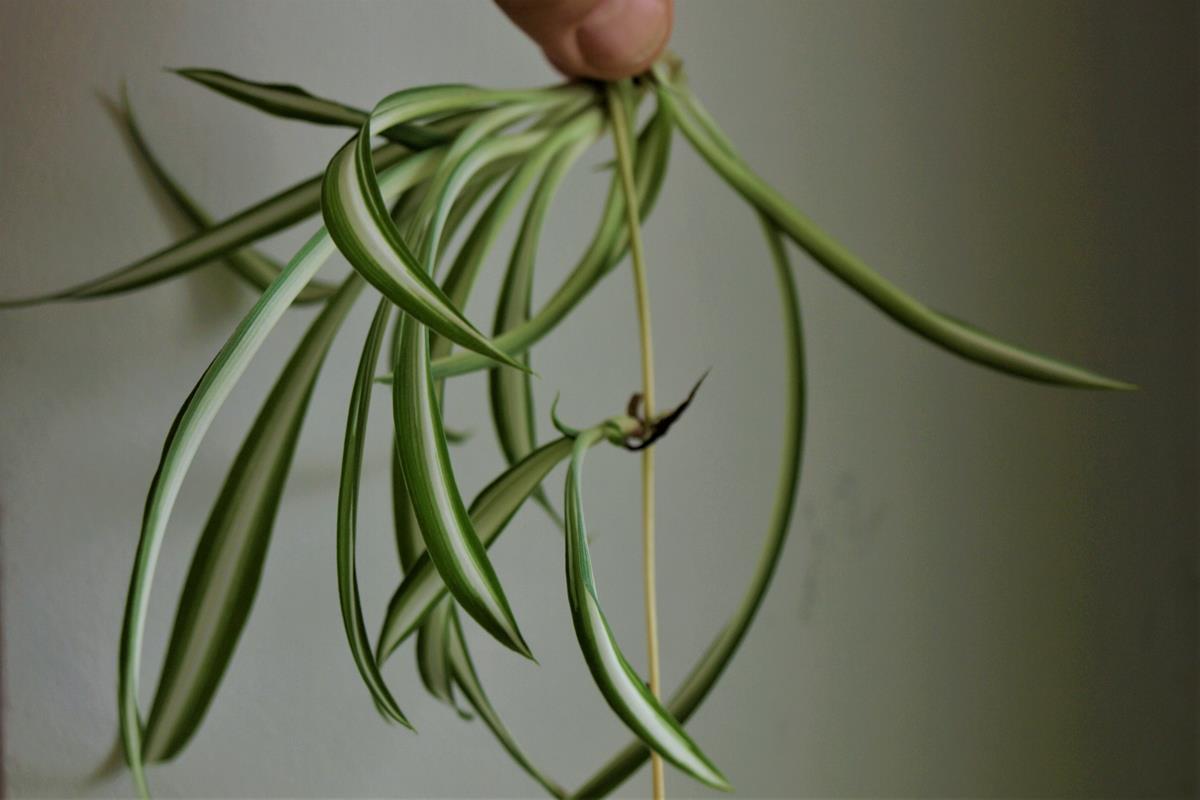 Rozlogi herbaceae