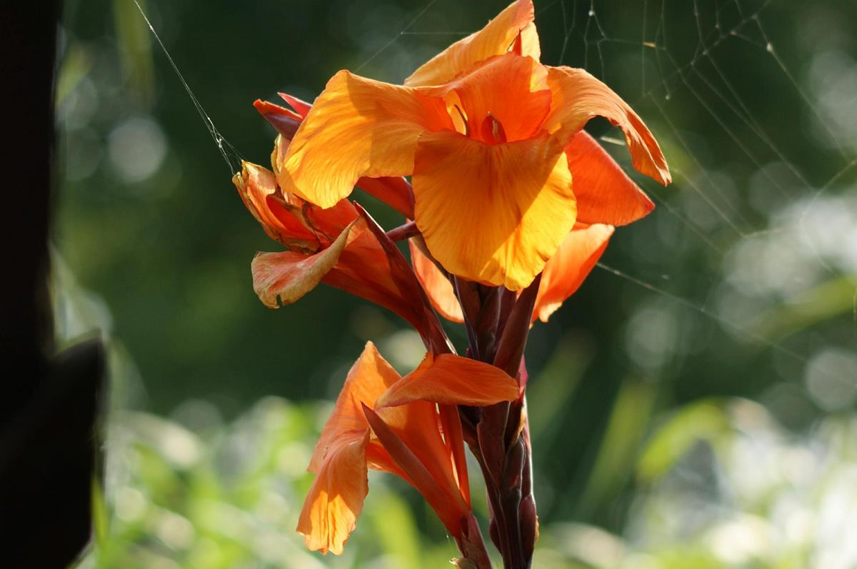 canna close-up