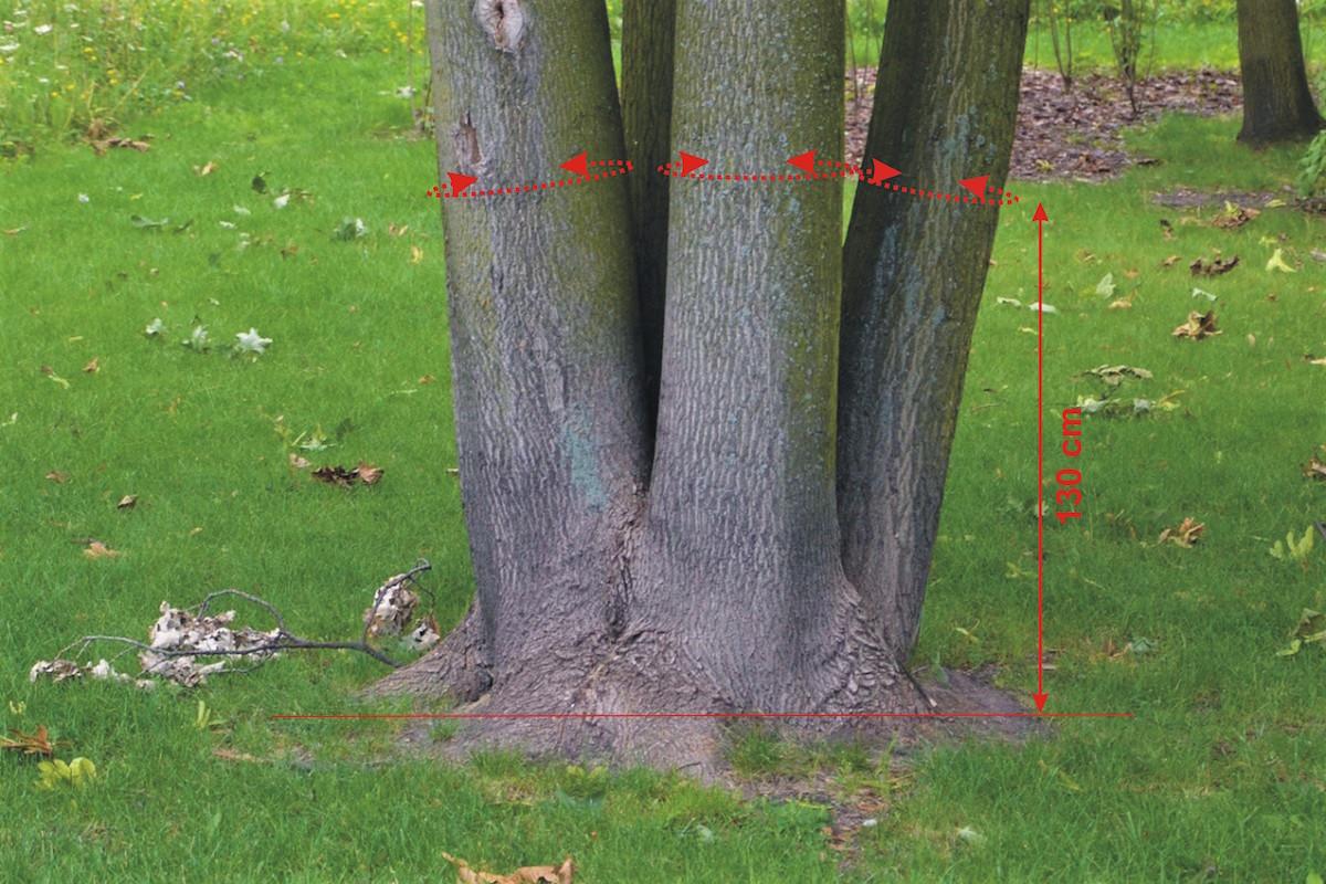 meranie viacerých stromov