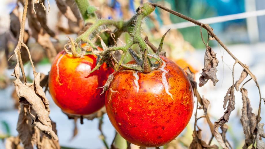 paradajková choroba